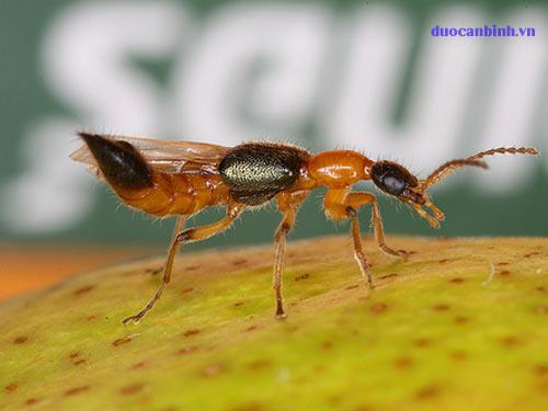 Kiến ba khoang côn trùng độc hại