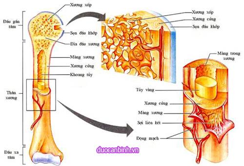cấu tạo của xương