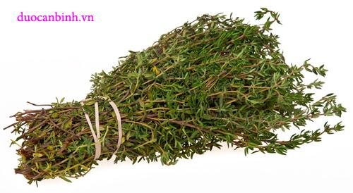 cỏ xạ hương có tác dụng tốt cho sức khỏe