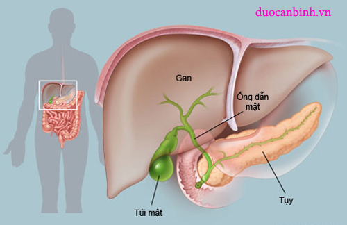 Vị trí của gan